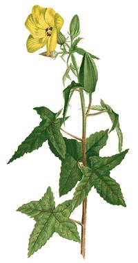 Bisamstrauch (Abelmoschus moschatus)