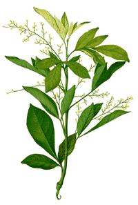 Aglaia Ordorata - Chinesische Reisblume