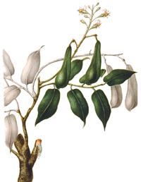 Balsambaum Myroxylon Balsamum, Lieferant für Perubalsam