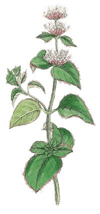 Bergamotteminze Mentha X piperita var. Citrat