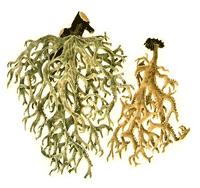 Eichenmoos (Everine Prunasti)