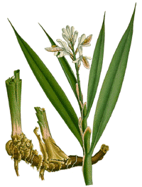 Galganzwurzel alpinia officinalis