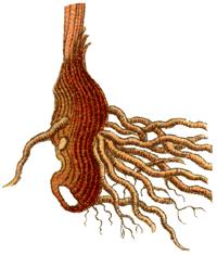 Iriswurzel
