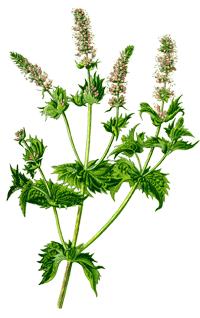 Krauseminze Mentha spicata