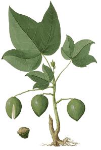 Kukuinuss Aleurites moluccana