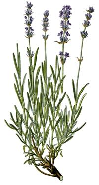 Anbau von lavendel in der provence dabei ist der lavendelanbau