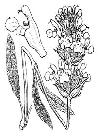 Lavendelsalbei Salvia lavandulifolia