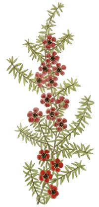 Manuka Leptospermum scoparium