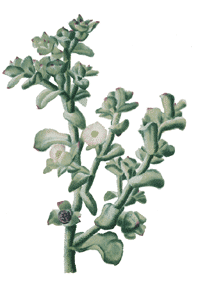 Mittagsblume (Mesembryanthemum crystallinum)
