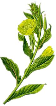 Nachtkerzenöl wird aus den Samen der Nachkerze gewonnen