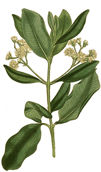 Piment Pimenta officinalis