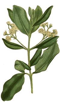 Piment Pimenta officinalis