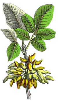 Aus grünen Pistazien (Pistacia vera) wird durch Kaltpressung Pistazienöl gewonnen