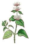 Bergamotteminze