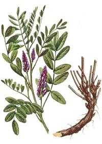 Süssholz Glycyrrhiza glabrazur