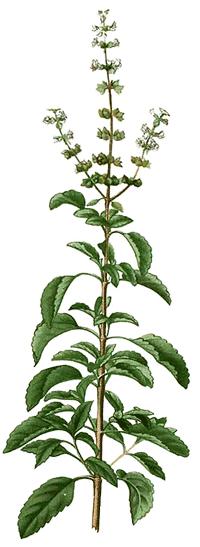 Tulsi oder indidisches Basilikum (Ocimum tenuiflorum), aus dem ätherisches Tulsiöl hergestellt wird.