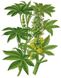 Rizinusöl wird aus Wunderbaum Samen gewonnen