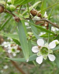 Zitronenmyrte Leptospermum petersonii